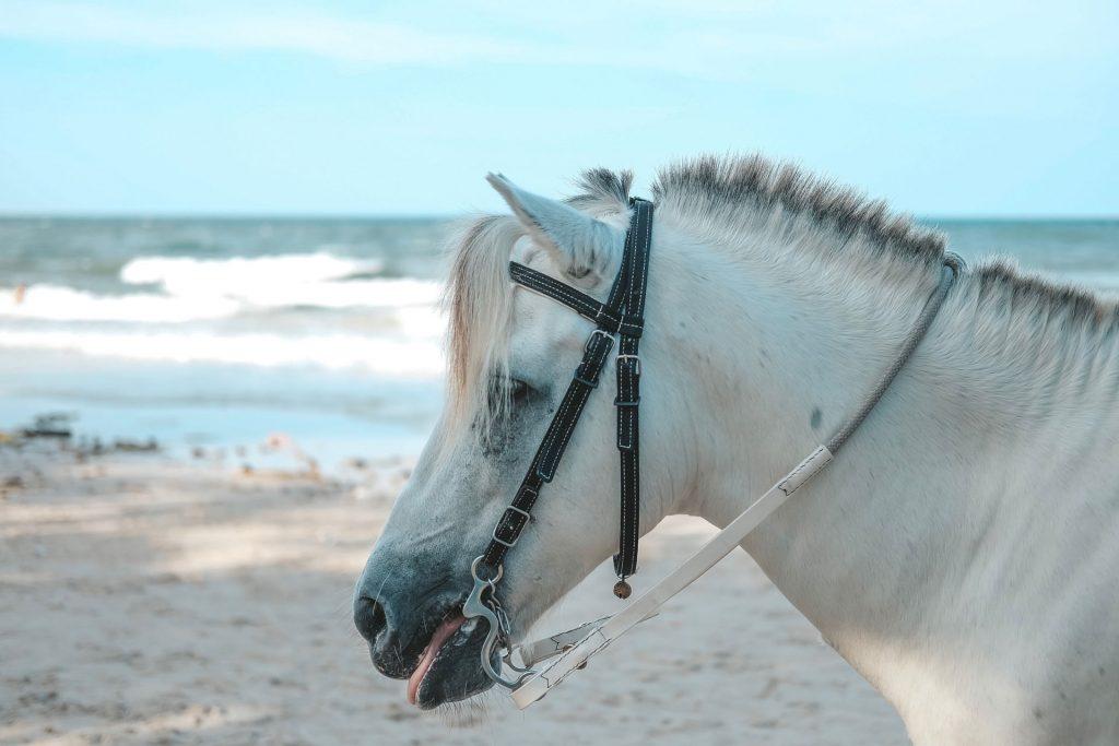 ม้าสี่ขาวรอให้บริการนักท่องเที่ยวริมชายหาดหัวหิน